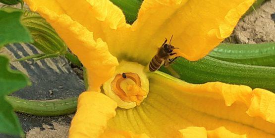 Abeille butinant une fleur de courgette cultivée de façon biologique par l'Espace Bio 85 - famille Abillard